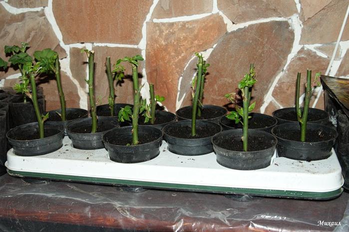 Как посадить правильно розу в домашних условиях