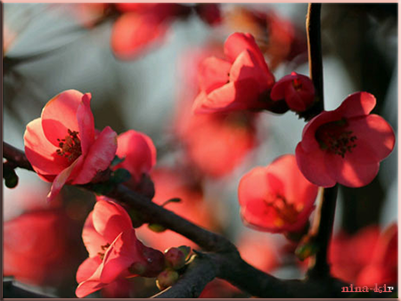 Сакура-красная (450x338, 240Kb)