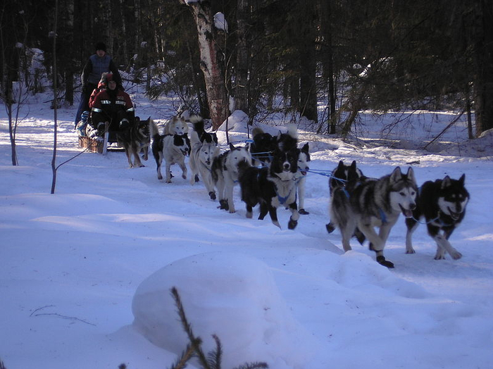 800px-Skify_Tour_sled_dogs_training (700x524, 329Kb)