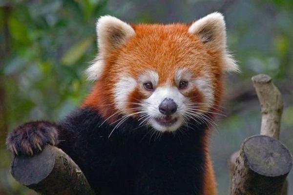 panda (600x400, 72Kb)