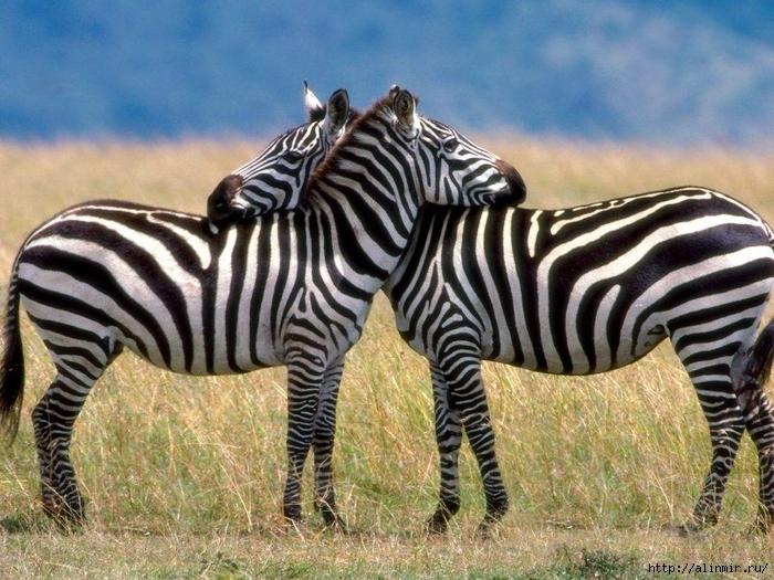 животные зебры (700x525, 341Kb)