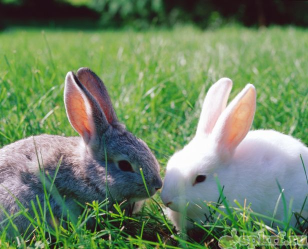кролик 12 (616x497, 271Kb)