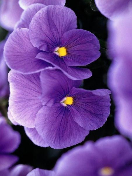 фиолетовый цвет 5 (453x604, 179Kb)