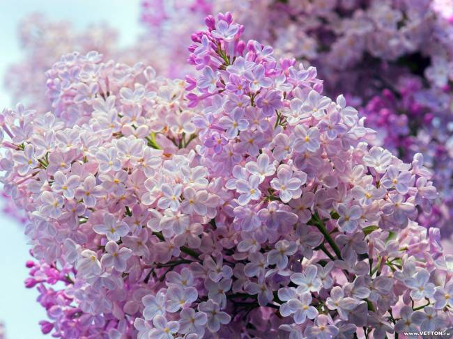 фиолетовый цвет 8 (650x487, 309Kb)
