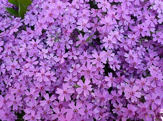 фиолетовый цвет 21 (550x408, 348Kb)