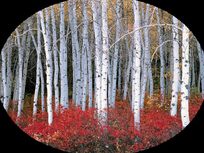 aspenforestwasatchmount (700x524, 865Kb)