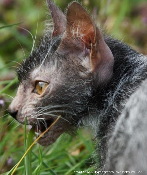 Ликои (Lykoi) - кошки похожие на оборотней