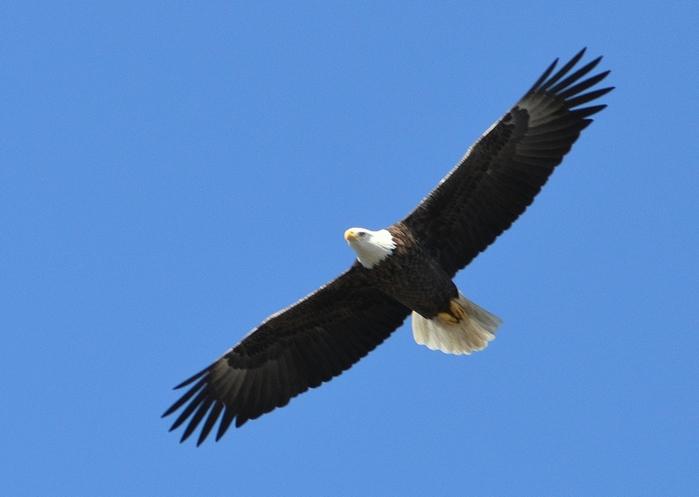 1588602_Eagle (700x497, 107Kb)