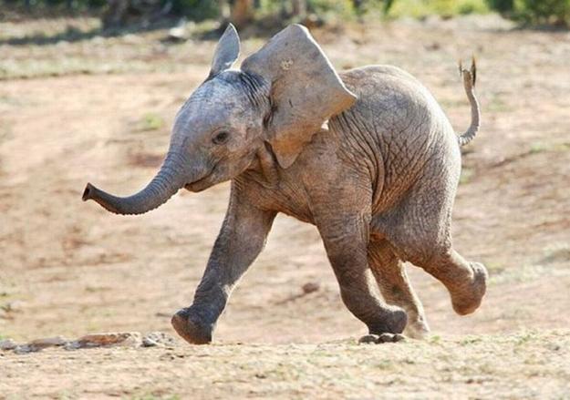 слонёнок 1-539 (625x439, 166Kb)