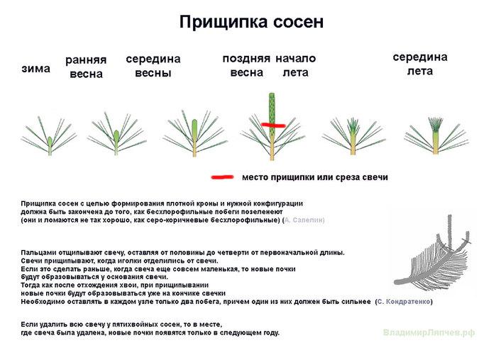 Прищипка-сосны-Ляпчев (700x494