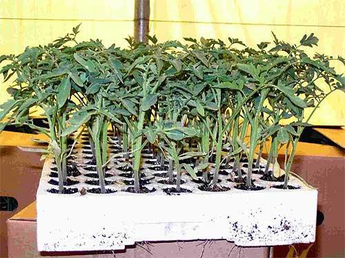 hrassada-pomidor (500x375, 67Kb)