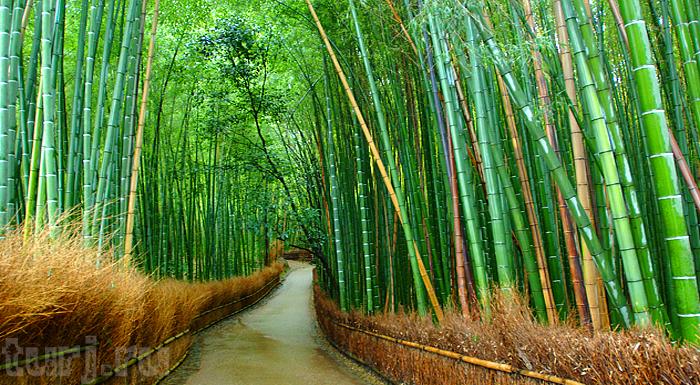 10. Япония, Киото. Бамбуковые рощи (700x385, 683Kb)