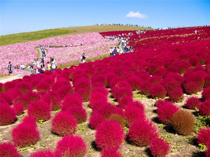 11. Япония. Парк Хитачи-Сисайд (700x525, 531Kb)