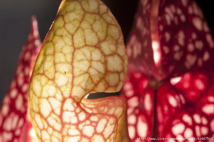 carnivorous_plants08 (700x465, 229Kb)
