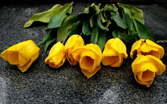тюльпан 13 (700x437, 502Kb)
