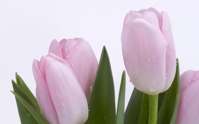 тюльпан 21 (700x437, 168Kb)