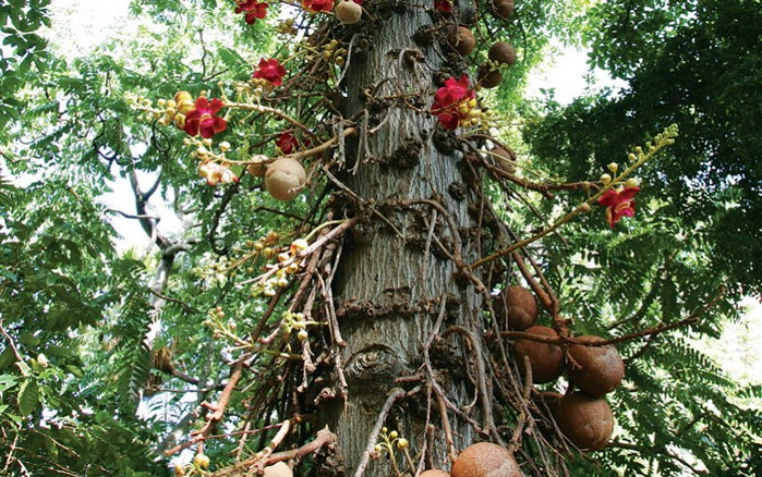 Cannonball-tree-by-Douglas-Peebles-Photography-Alamy-fruit-grows-directly-on-the-trunk (700x438, 495Kb)