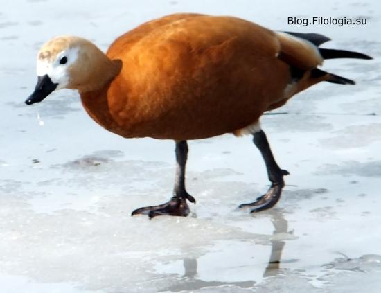 3241858_bird18 (550x423, 85Kb)