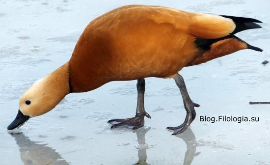 3241858_bird23 (550x336, 81Kb)