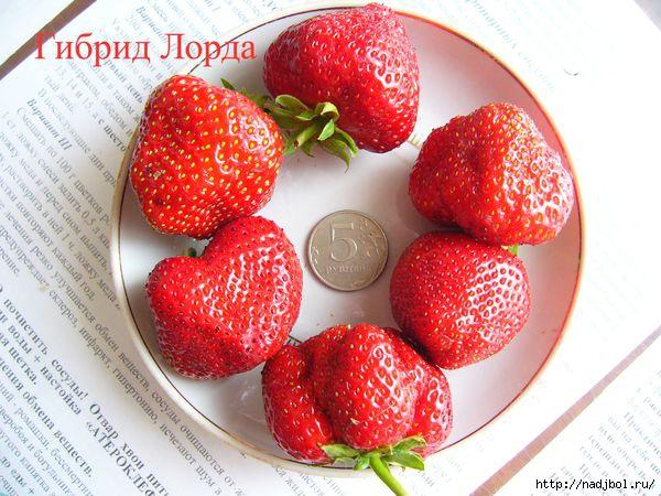 nadjibok58/5186405_gib_lorda_d (600x450, 197Kb)