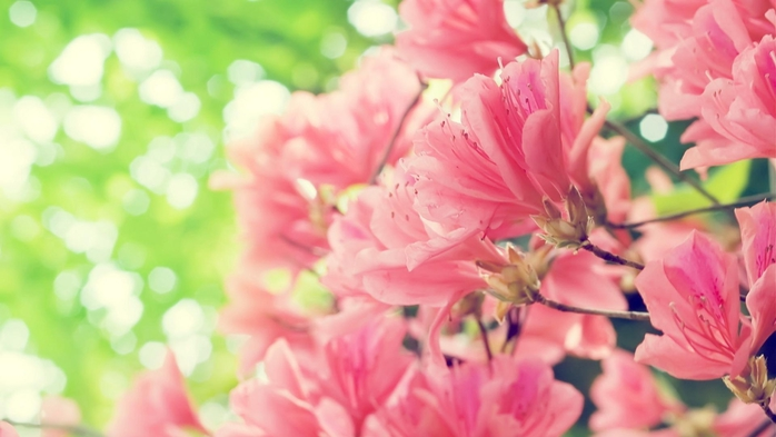 hq-wallpapers_ru_flowers_30327_1920x1080 (700x393, 168Kb)