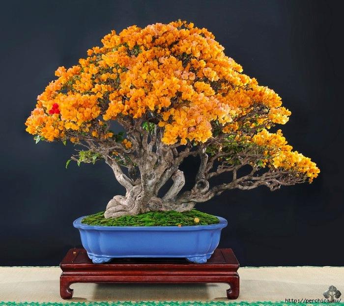 4979645_abonsai_with_orange_flowers_1_20121230_1086106733 (700x623, 281Kb)