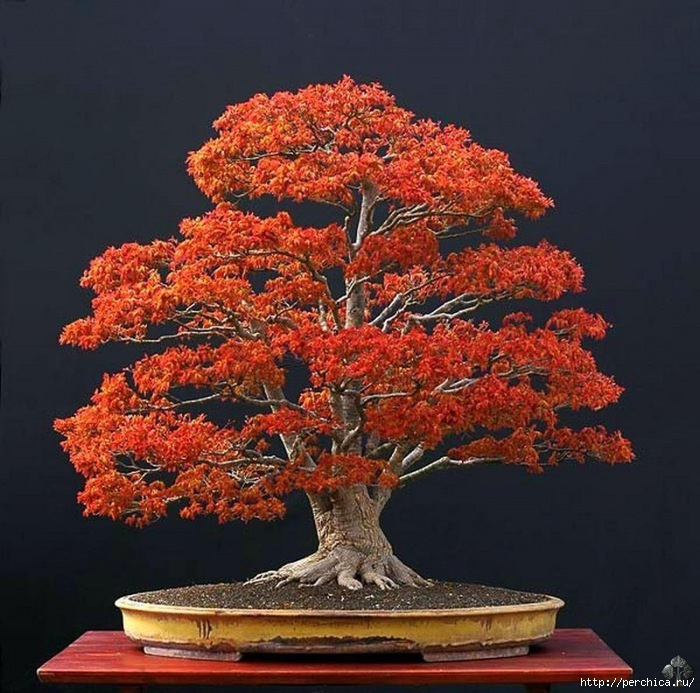 4979645_aacer_bonsai_tree_1_20130106_1226169851 (700x693, 281Kb)