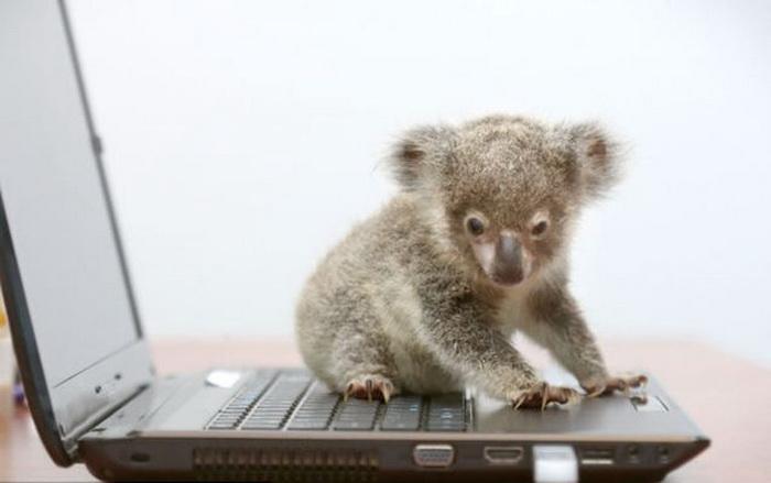 Koala2 (700x439, 56Kb)