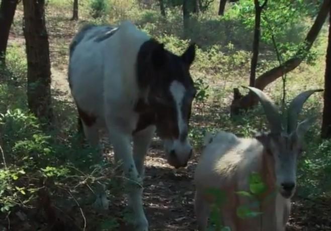 Лошадь и козёл (658x460, 155Kb)