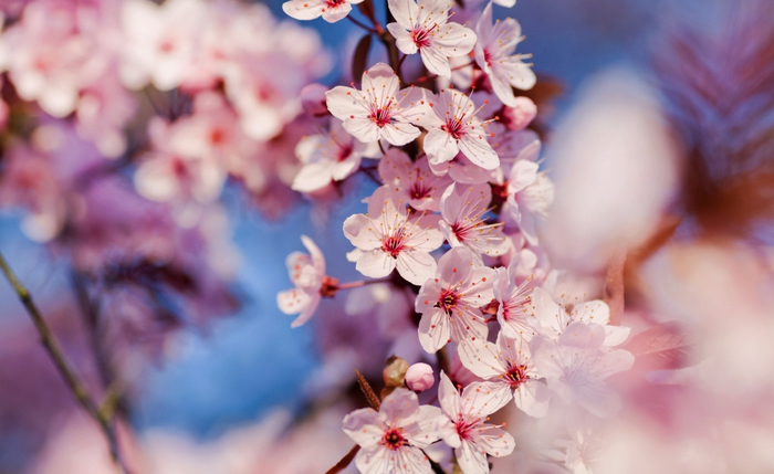 4391055-R3L8T8D-1000-cherry_blossom_3-wallpaper-2560x1600 (700x429, 286Kb)