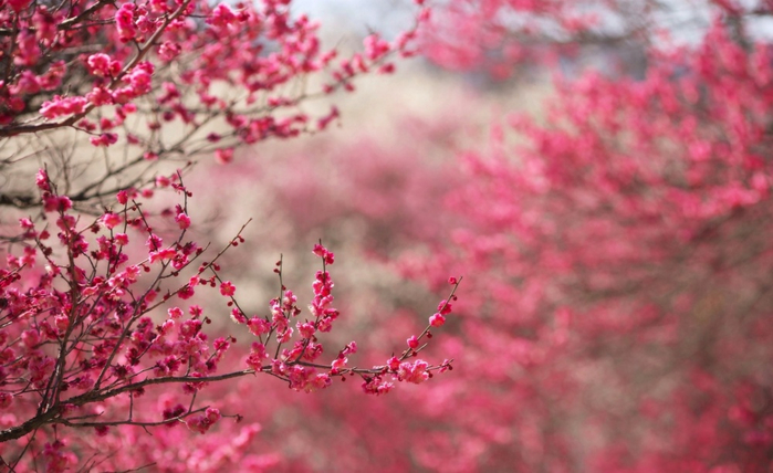 4391255-R3L8T8D-1000-sakura_cherry_blossom-wallpaper-2560x1600 (700x428, 313Kb)