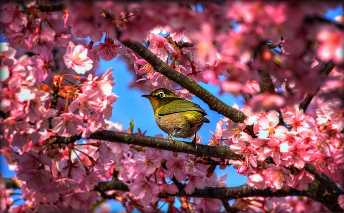 4391355-R3L8T8D-1000-japanese_white_eye_hiding_in_sakura-wallpaper-3840x2400 (700x432, 386Kb)