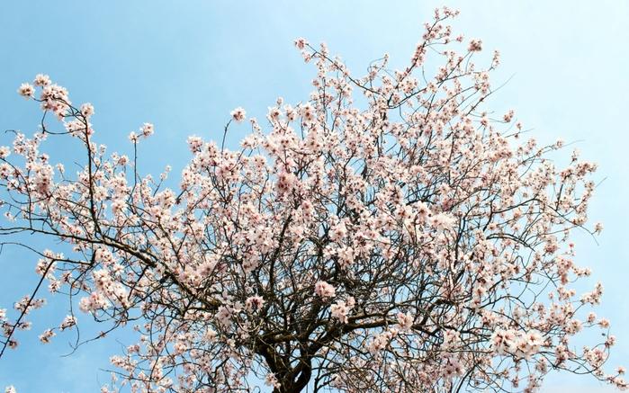 4384955-R3L8T8D-1000-spring_blossom_3-wallpaper-2560x1600 (700x437, 439Kb)