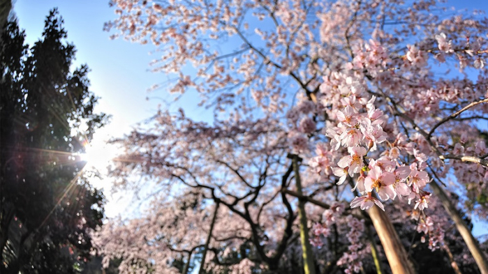 4381255-R3L8T8D-1000-cherry_blossom_wallpaper_2011_by_windylife-d3cy7zs (700x393, 357Kb)