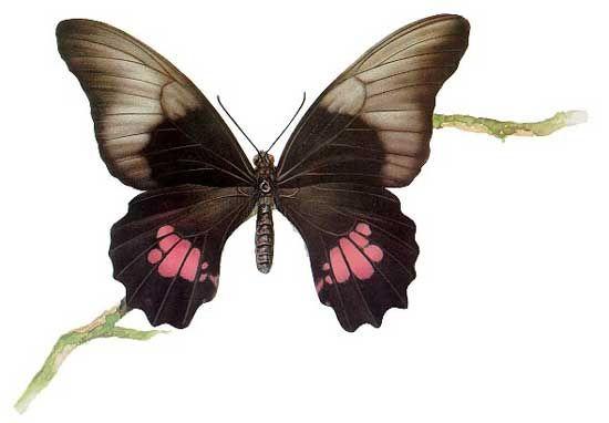 Бабочки и другие насекомые. Картинки для декупажа (11) (550x382, 76Kb)