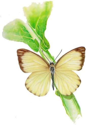 Бабочки и другие насекомые. Картинки для декупажа (15) (343x512, 95Kb)