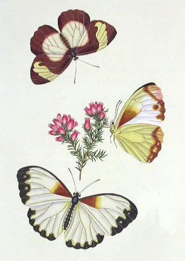 Бабочки и другие насекомые. Картинки для декупажа (22) (363x512, 138Kb)