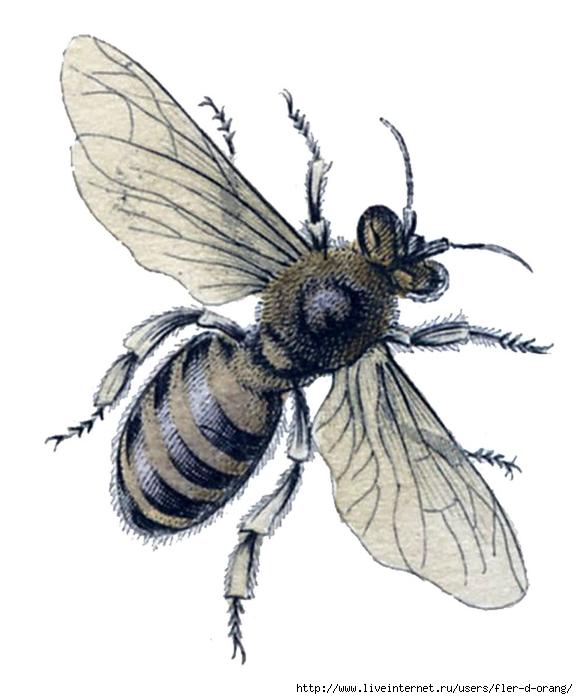 bee+botanical+vintage+Image+GraphicsFairy7 (578x700, 168Kb)