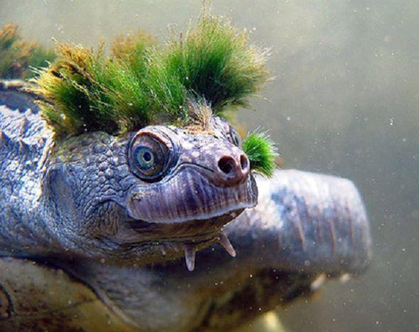 экзотическая черепаха реки мэри австралия фото 1 (590x468, 229Kb)