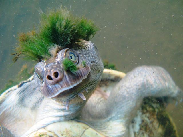 экзотическая черепаха реки мэри австралия фото 3 (640x480, 277Kb)