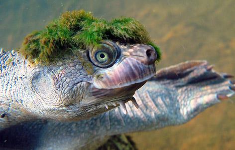 экзотическая черепаха реки мэри австралия фото (472x301, 157Kb)