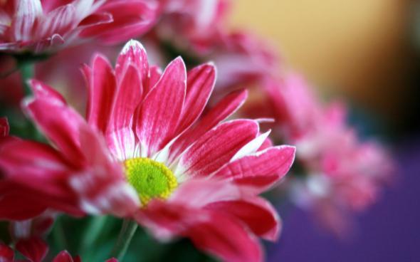 цветы 6 (590x368, 152Kb)