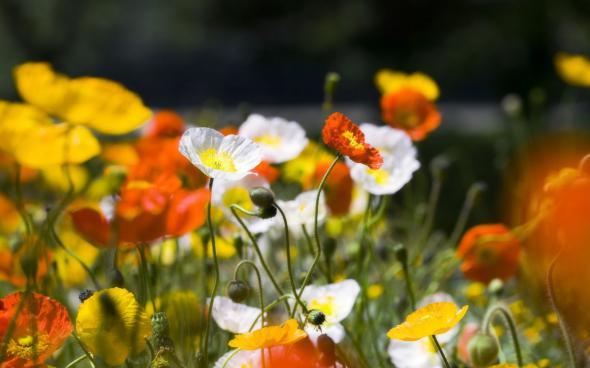 цветы 9 (590x368, 172Kb)
