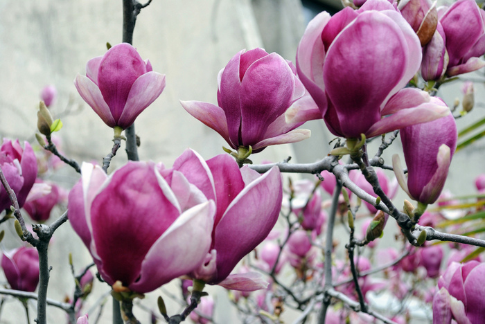 4326608_MagnoliaBlossoms (700x468, 178Kb)