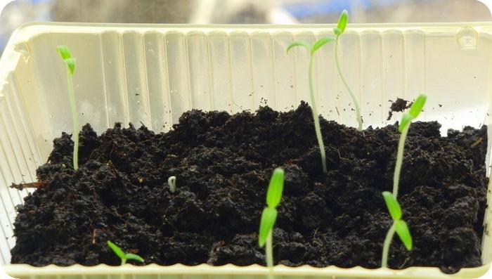 Когда садить семена виктории на рассаду 92
