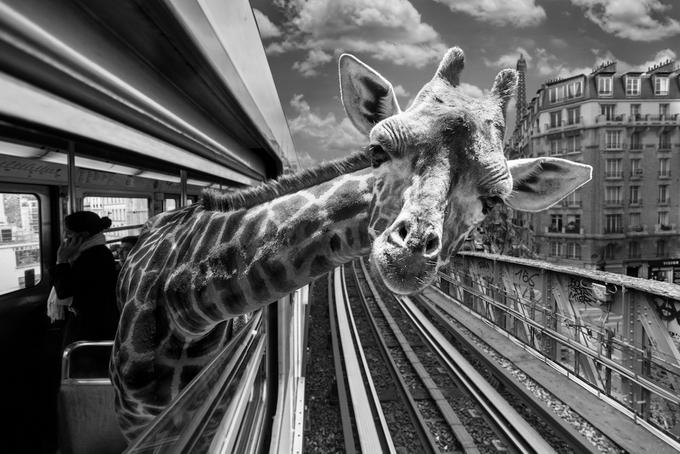 черно белые фото животных 8 (680x454, 238Kb)