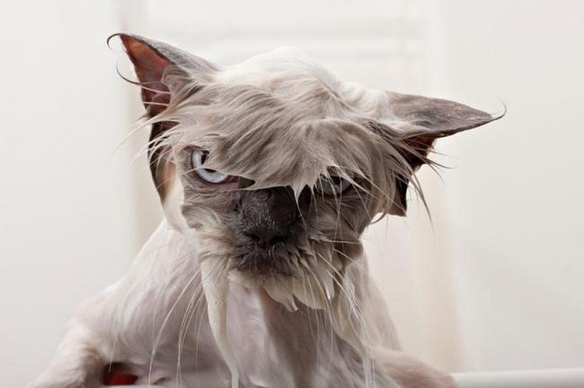 мокрые кошки фото 2 (650x432, 137Kb)