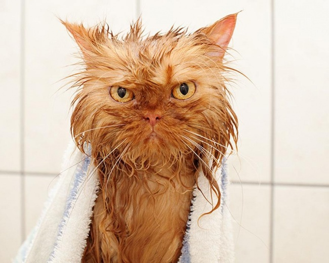 мокрые кошки фото 4 (650x520, 252Kb)