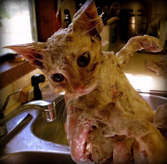 мокрые кошки фото 8 (650x638, 390Kb)