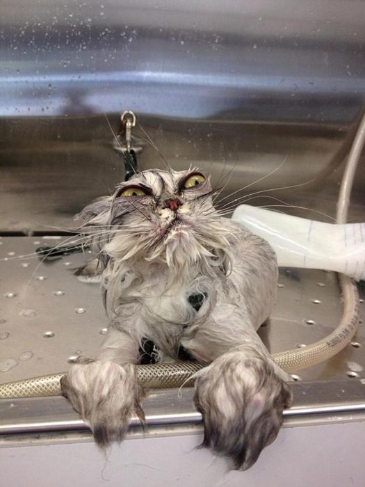 мокрые кошки фото 16 (525x700, 316Kb)